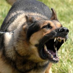 800px-Military_dog_barking